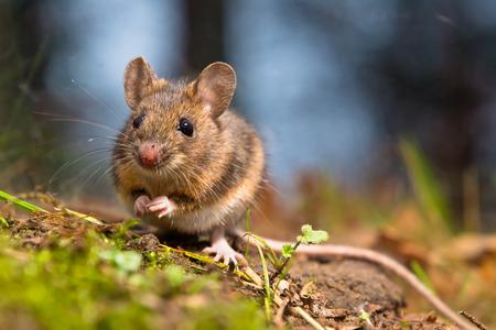 animales del bosque: El ratón de campo salvaje sentado en el suelo del bosque