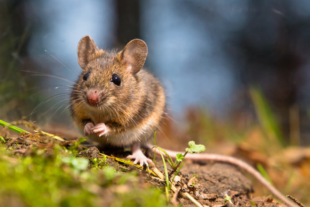 mouse: Wild wood mouse sitting on the forest floor