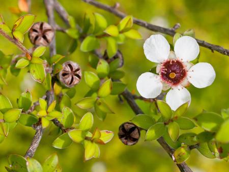 Detail van tea tree bloemen en zaaddozen Stockfoto