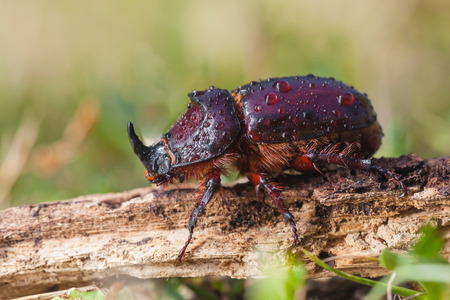 oryctes: Close up European Rhinoceros Beetle  Oryctes nasicornis  in Natural Habitat