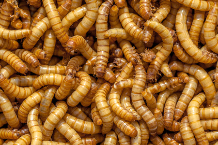 maggot: Background of many living Mealworms suitable for Food