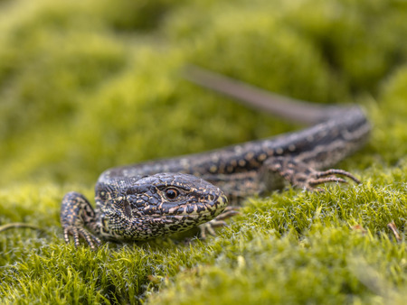 lacerta: Sand Lizard  Lacerta agilis  in Natural Habitat on Green Moss