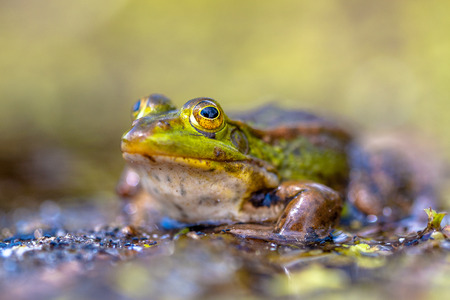 Edible Green Frog (Pelophylax kl. esculentus) on the bank of a pond in Natural Habitat photo