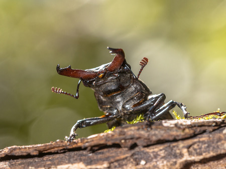 Lucanus cervus is the best-known species of stag beetle in the West (family Lucanidae) photo