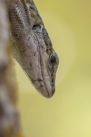 nosey: A medium-sized lizard with a long slender body with a large deep head, muscular limbs, and a tail up to twice the length of the body.