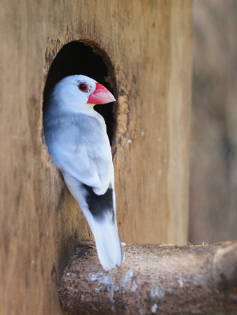 Java Sparrow at the entrance of a Nesting Box photo
