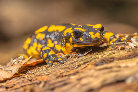 salamanders: Endangerd Fire Salamander Newt Found in Old European Forests like Hasbruch, Germany