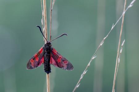 zygaena: Six-spot Burnet (Zygaena filipendulae), is a day-flying moth of the family Zygaenidae
