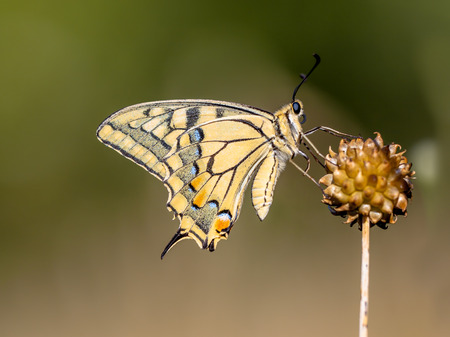 The Swallowtail is Europes largest native butterfly, and also one of our rarest. photo