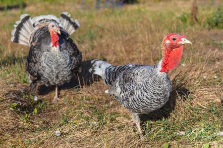 Couple of Turkey Birds on a Farmyard
