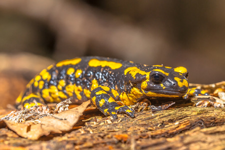 Endangerd Fire Salamander Newt Found in Old European Forests like Hasbruch, Germany