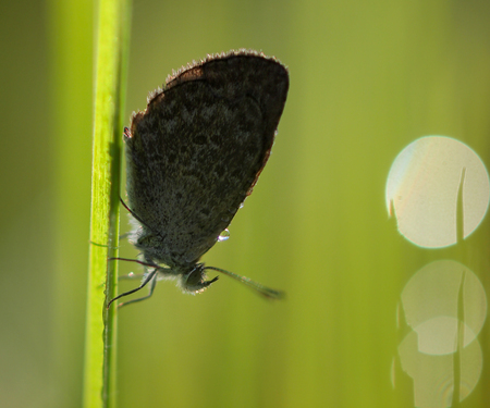 Silhouette of Butterfly (Zizina otis labradus) Warming its Wings in the rising Sun photo