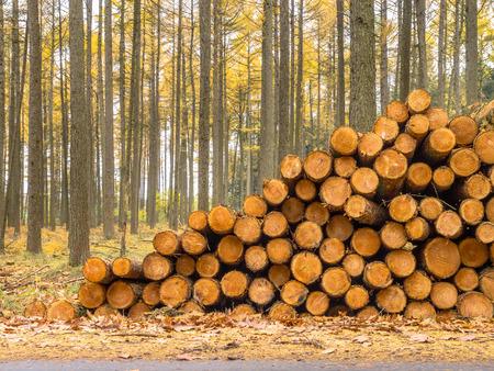 Automne Mélèze (Larix) Forêt avec des piles de bois