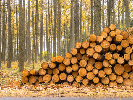 Autumnal Larch (Larix) Forest with Piles of Wood Stock Photo