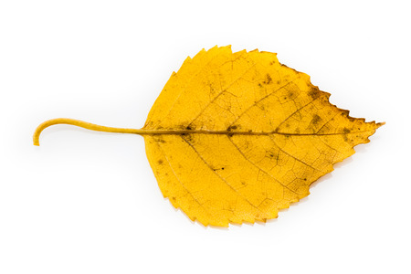 elm: Yellow Birch Leaf in Autumnal Colors Isolated on White Background Stock Photo