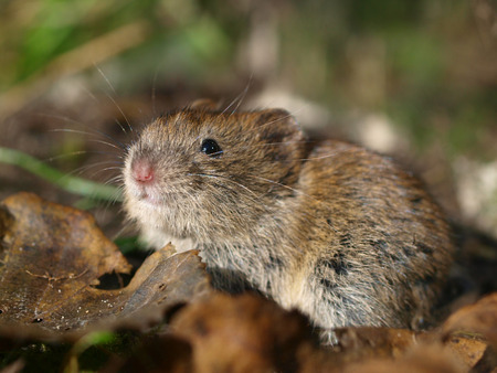vole: Bank Vole (Clethrionomys glareolus) on the Forest Floor between Leaves Stock Photo