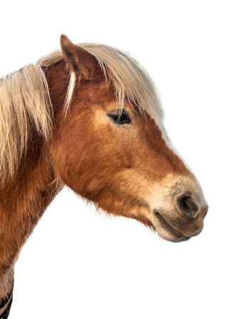 eminent: Head of a cute horse on white background. A proud animal with prominent colors and brown skin.