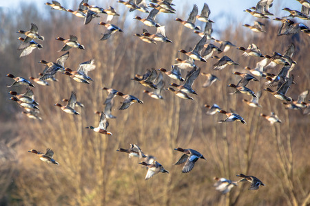 wildfowl: Migrating ducks are leaving to the southern hibernating areas in autumn and winter.