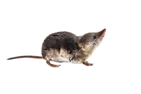 Shrews are among the most primitive animals on planet earth. All modern mammals descend from these early insectivores