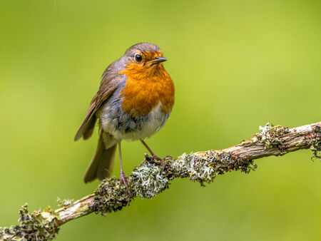 redbreast: A red robin. A regular companion during gardening pursuits