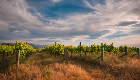 marlborough: new zealand vineyard in Marlborough with long exposure blur