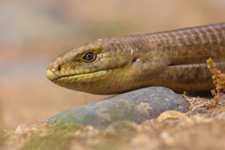 legless: Close up of head of sheltopusik,  scheltopusik, or European legless lizard (Pseudopus apodus) is a large glass reptile found from southern Europe to Central Asia.