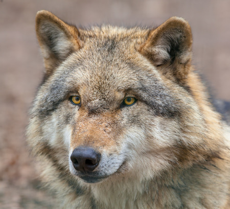 Head of a Eurasian Gray Wolf (Canis lupus lupus) is the most specialised member of the genus Canis, as demonstrated by its morphological adaptations to hunting large prey, its more gregarious nature, and its highly advanced expressive behavior.