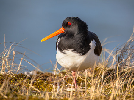 wader: Oystercatcher (Haematopus ostralegus) wader bird fisher of fish and shellfish with nesting places near the Waddenzee Natura 2000  nature reserve for seabirds Netherlands Stock Photo