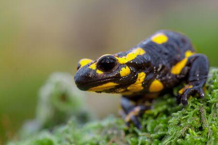 salamandre: salamandres de feu (de Salamandre Salamandre) vivent dans de vieilles forêts de feuillus d'Europe centrale et sont plus fréquents dans les zones montagneuses avec beaucoup de bois mort. Banque d'images