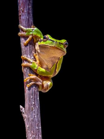 tree frog: Climbing European tree frog (Hyla arborea) isolated on black background