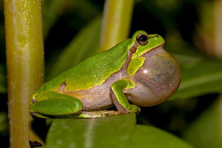 Croaking European tree frog (Hyla arborea) in a tree