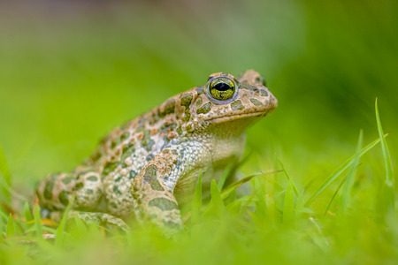 viridis: Green toad (Bufotes viridis) showing off in a backyard lawn with bright green grass on a sunny day