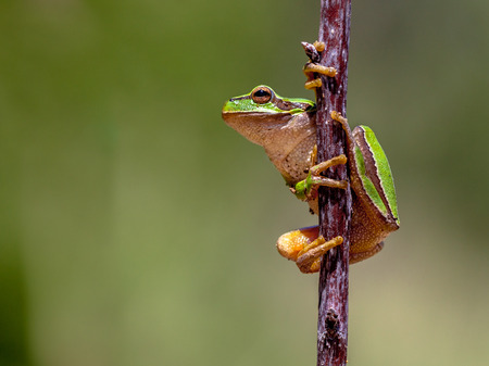 arboreal frog: European tree frog (Hyla arborea) climbing in a stick and preparing to jump Stock Photo