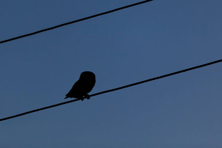 athene: Little Owl (Athene noctua) looking down from an electricity line in the night