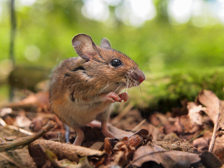 dinky: Field Mouse (Apodemus sylvaticus) on the Forest Floor in its Natural Habitat