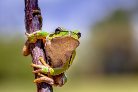 hyla: European tree frog (Hyla arborea) climbing in a tree and looking in the camera Stock Photo