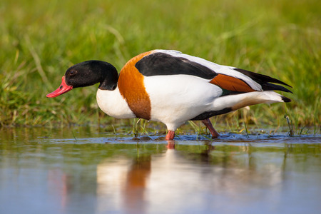 widespread: Common shelduck male animal (Tadorna tadorna) walking along the shore in a wetland and looking for food. It is a waterfowl species and widespread in Europe and Asia.