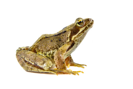 funny frog: Common Brown frog (rana temporaria) looking up at camera on white background with clipping path