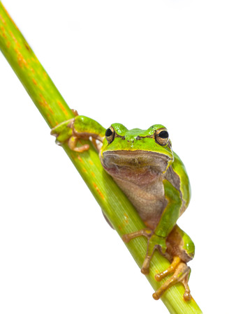 hyla: Green European Tree Frog (Hyla arborea) Looking in the camera while climbing in a diagonal stick, isolated on white background