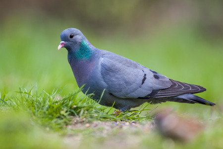 stock: Stock Dove (Columba oenas) foraging in the grass of a bright green lawn