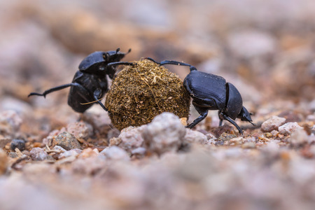 conquer adversity: Two hard working dung beetles putting a lot of effort in rolling a ball through gravel