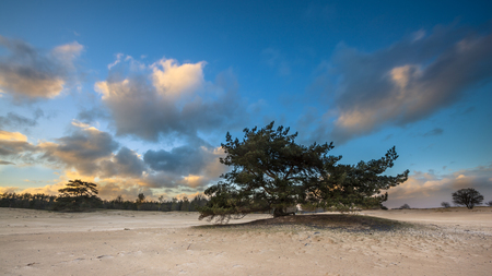 shifting: Lonely Tree in shifting sands area of National Park Drents Friese Wold, Appelscha, Netherlands