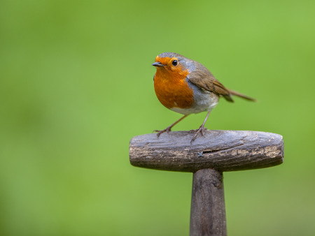 pursuits: Red robin (Erithacus rubecula) perched on the handle of a shovel. This bird is a regular companion during gardening pursuits