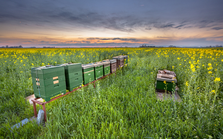 coleseed: Row of Beehives in a Coleseed field at sunset in the Province of Groningen, Netherlands