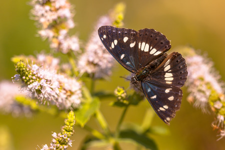 admiral: The Southern White Admiral is found in Northern Spain, South and Eastern France, Italy, the Balkans and the Alps. Stock Photo