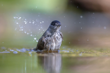 noire: Eurasian blackcap (Sylvia atricapilla) washing in water while drops are splashing around
