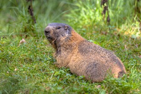 southern europe: Alpine marmot (Marmota marmota) looking backward, This animal is found in mountainous areas of central and southern Europe Stock Photo