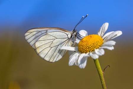 pieridae: Black-veined White (Aporia crataegi) resting on Oxeye daisy (Leucanthemum vulgare) in the morning sun with blue sky