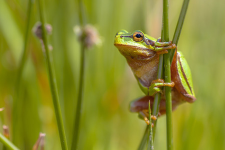 frog green: Side view of European tree frog (Hyla arborea) climbing in common rush (juncus effusus) Stock Photo