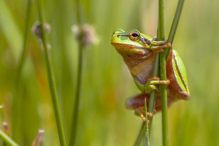 rana: Vista lateral de rana Europea (Hyla arborea) escalada en punta com�n (effusus juncus)